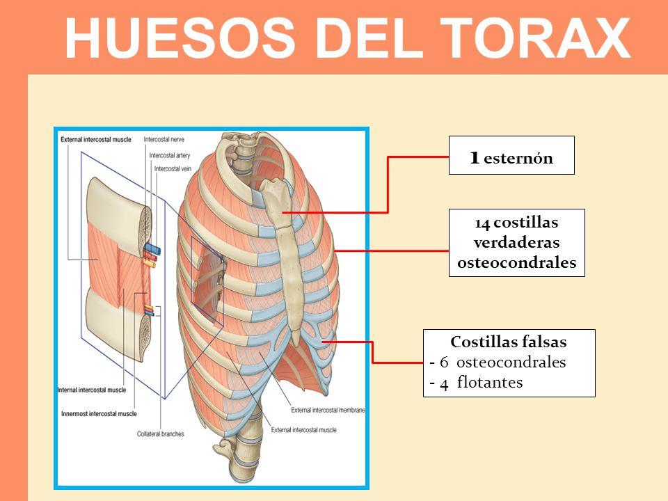 1 esternón 14 costillas verdaderas osteocondrales Costillas falsas - 6 osteocondrales - 4 flotantes HUESOS DEL TORAX