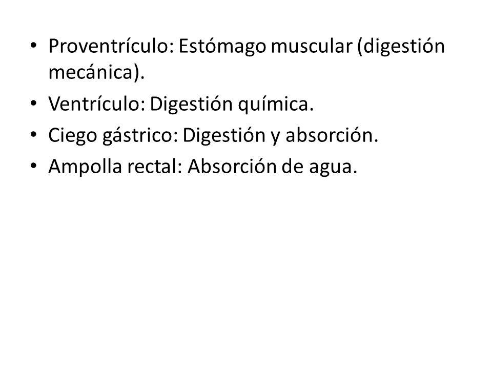 Proventrículo: Estómago muscular (digestión mecánica). Ventrículo: Digestión química. Ciego gástrico: Digestión y absorción. Ampolla rectal: Absorción