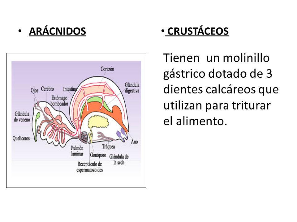 ARÁCNIDOS CRUSTÁCEOS Tienen un molinillo gástrico dotado de 3 dientes calcáreos que utilizan para triturar el alimento.