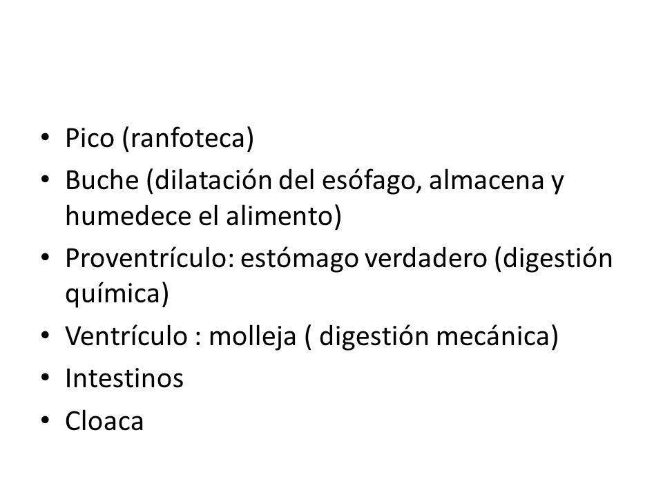 Pico (ranfoteca) Buche (dilatación del esófago, almacena y humedece el alimento) Proventrículo: estómago verdadero (digestión química) Ventrículo : mo