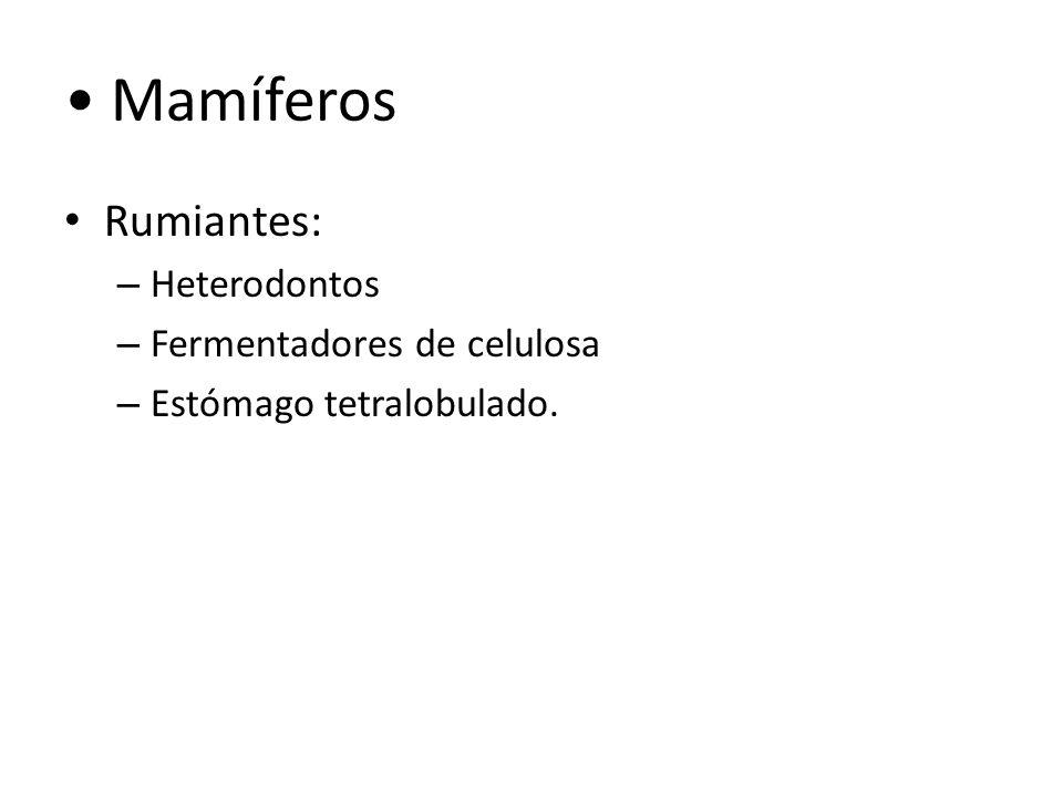 Mamíferos Rumiantes: – Heterodontos – Fermentadores de celulosa – Estómago tetralobulado.