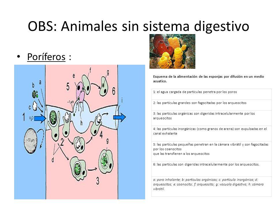 OBS: Animales sin sistema digestivo Poríferos : Esquema de la alimentación de las esponjas por difusión en un medio acuatico. 1: el agua cargada de pa