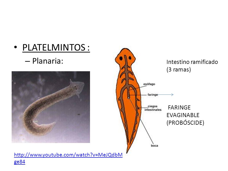 PLATELMINTOS : – Planaria: Intestino ramificado (3 ramas) FARINGE EVAGINABLE (PROBÓSCIDE) http://www.youtube.com/watch?v=MeJQdbM ge84