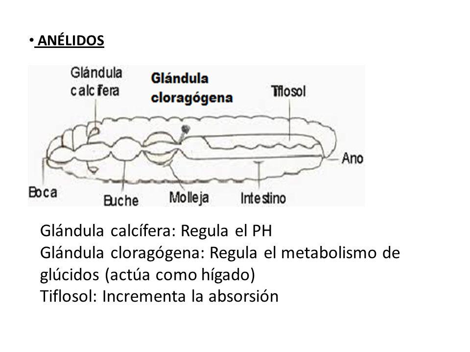 ANÉLIDOS Glándula calcífera: Regula el PH Glándula cloragógena: Regula el metabolismo de glúcidos (actúa como hígado) Tiflosol: Incrementa la absorsió