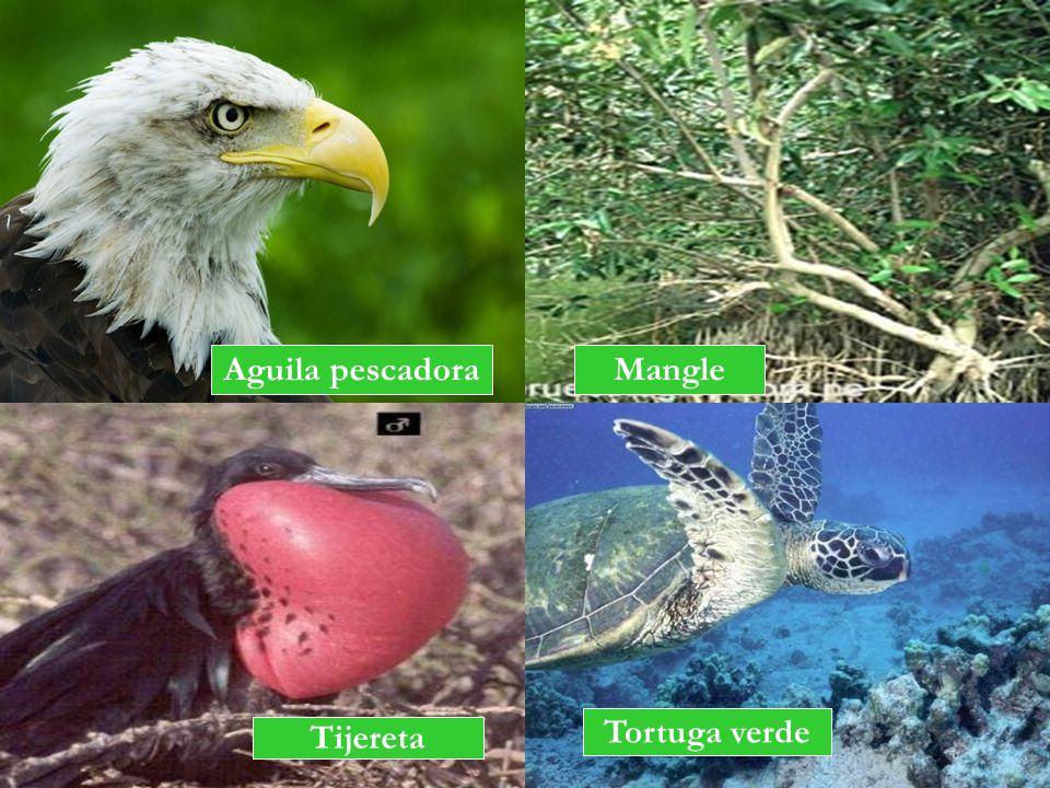 Aguila pescadora Mangle Tijereta Tortuga verde