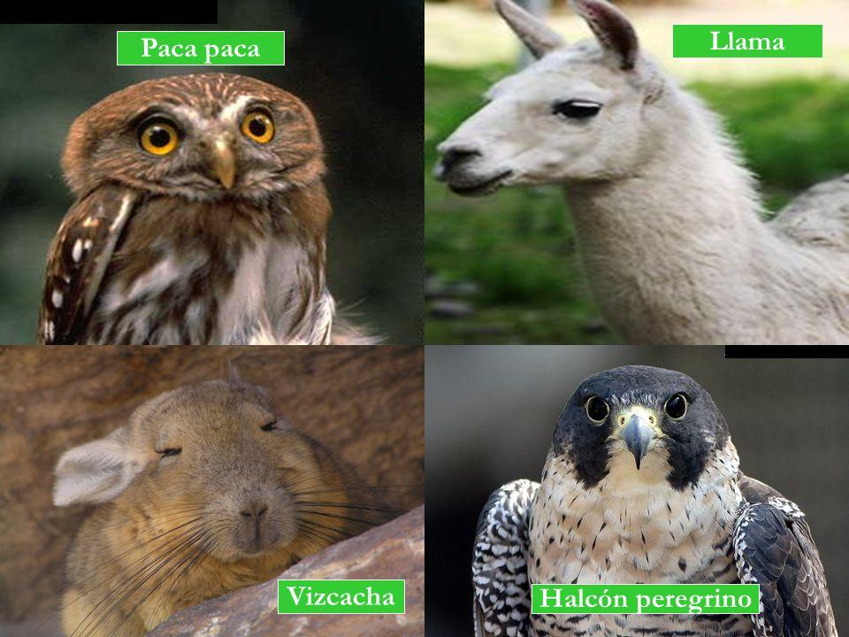 Halcón peregrino Vizcacha Llama Paca paca