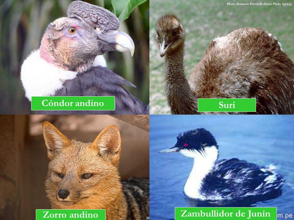 Cóndor andino Zorro andino Zambullidor de Junín Suri