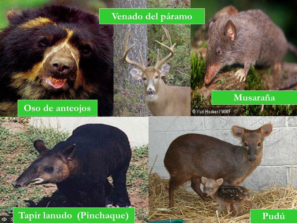 Oso de anteojos Venado del páramo Musaraña Pudú Tapir lanudo (Pinchaque)