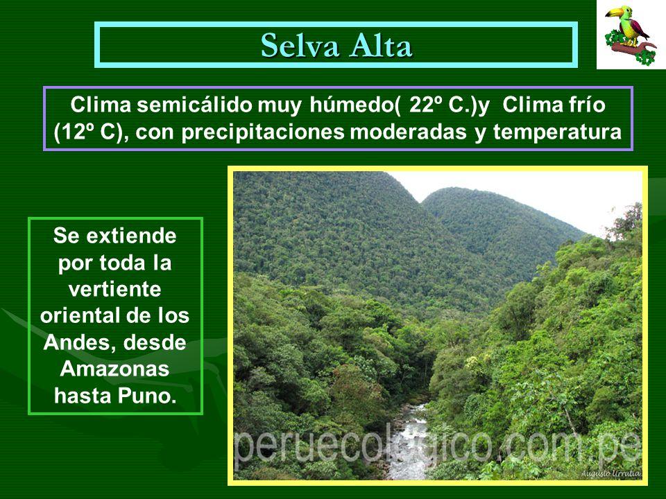 Selva Alta Se extiende por toda la vertiente oriental de los Andes, desde Amazonas hasta Puno. Clima semicálido muy húmedo( 22º C.)y Clima frío (12º C