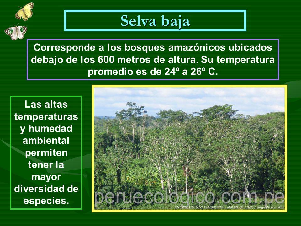 Selva baja Corresponde a los bosques amazónicos ubicados debajo de los 600 metros de altura. Su temperatura promedio es de 24º a 26º C. Las altas temp