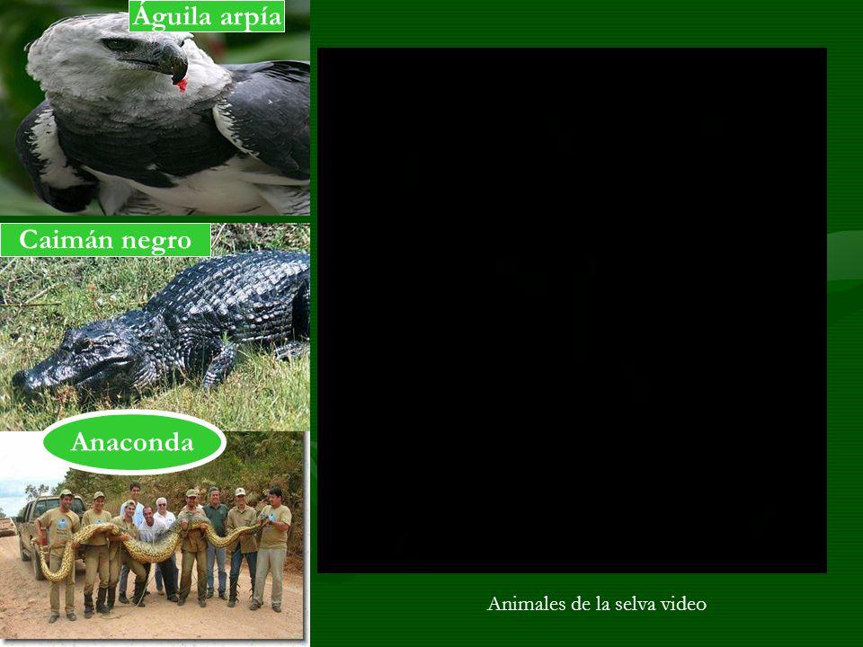 Caimán negro Águila arpía Anaconda Animales de la selva video