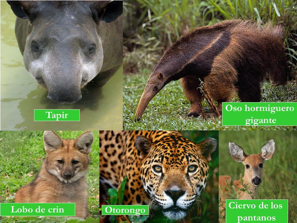 Tapir Oso hormiguero gigante Lobo de crin Otorongo Ciervo de los pantanos