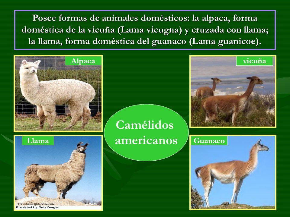 Posee formas de animales domésticos: la alpaca, forma doméstica de la vicuña (Lama vicugna) y cruzada con llama; la llama, forma doméstica del guanaco