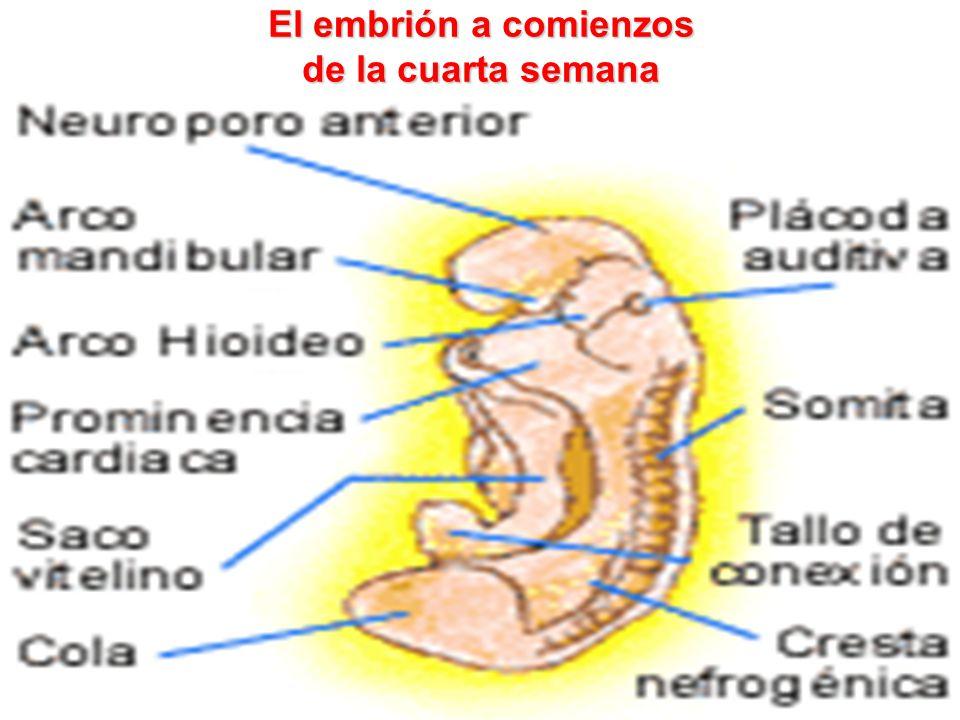 El embrión a comienzos de la cuarta semana