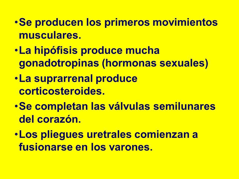 Se producen los primeros movimientos musculares. La hipófisis produce mucha gonadotropinas (hormonas sexuales) La suprarrenal produce corticosteroides