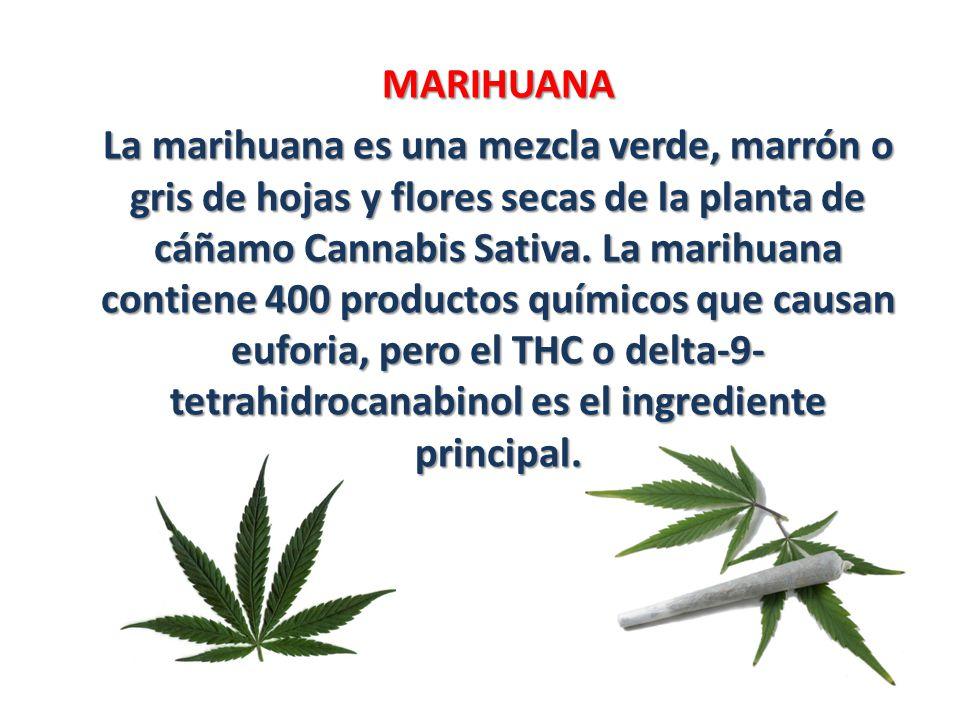MARIHUANA La marihuana es una mezcla verde, marrón o gris de hojas y flores secas de la planta de cáñamo Cannabis Sativa. La marihuana contiene 400 pr