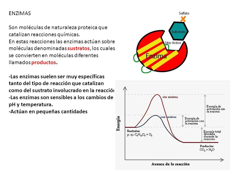 ENZIMAS Son moléculas de naturaleza proteica que catalizan reacciones químicas. En estas reacciones las enzimas actúan sobre moléculas denominadas sus