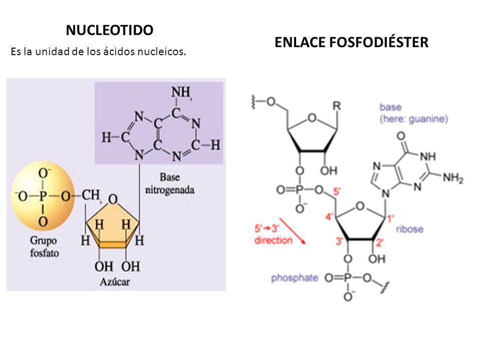NUCLEOTIDO Es la unidad de los ácidos nucleicos. ENLACE FOSFODIÉSTER
