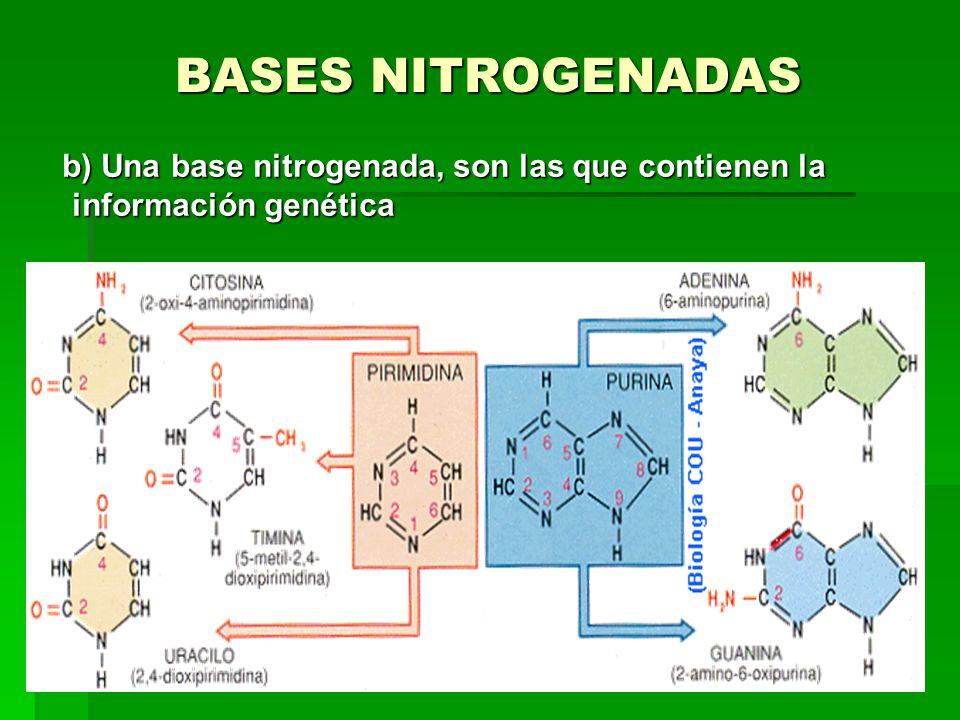 BASES NITROGENADAS b) Una base nitrogenada, son las que contienen la información genética b) Una base nitrogenada, son las que contienen la informació