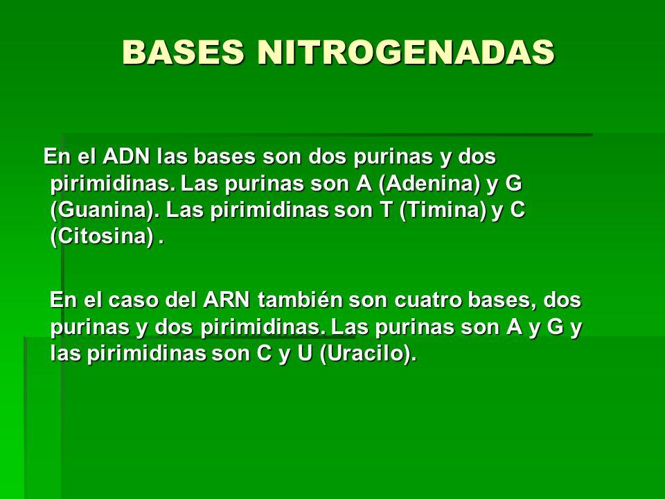 BASES NITROGENADAS En el ADN las bases son dos purinas y dos pirimidinas. Las purinas son A (Adenina) y G (Guanina). Las pirimidinas son T (Timina) y