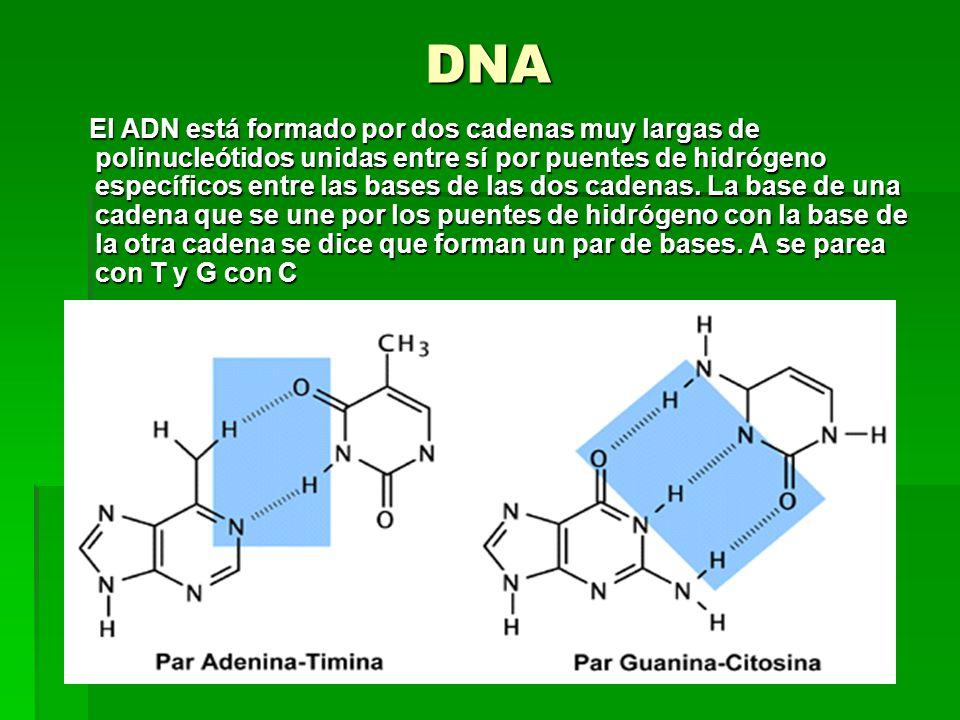 DNA El ADN está formado por dos cadenas muy largas de polinucleótidos unidas entre sí por puentes de hidrógeno específicos entre las bases de las dos cadenas.