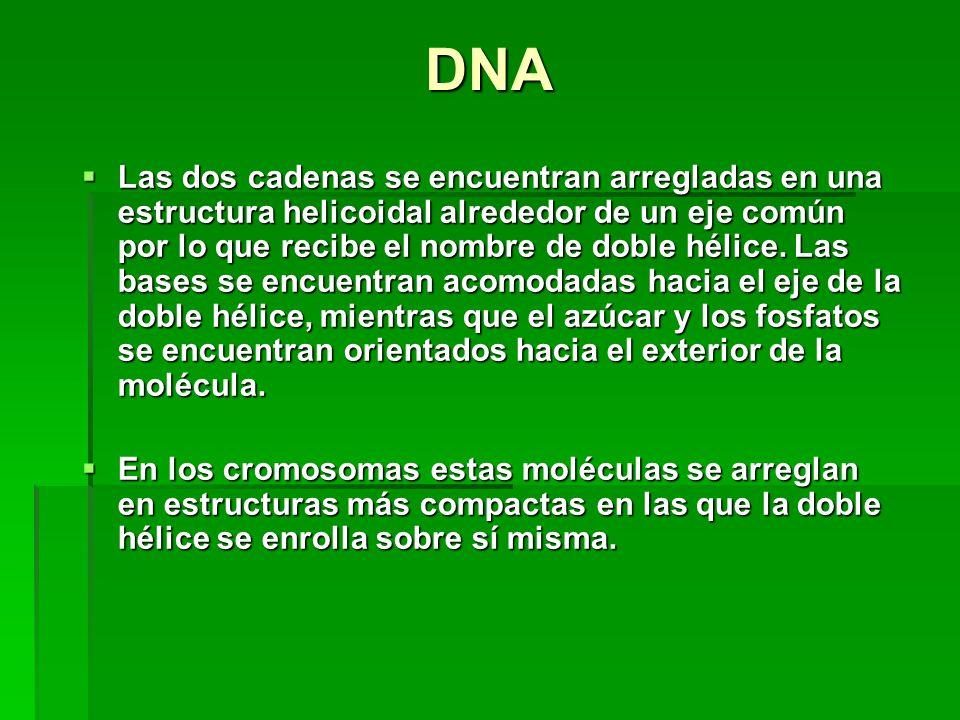DNA Las dos cadenas se encuentran arregladas en una estructura helicoidal alrededor de un eje común por lo que recibe el nombre de doble hélice.