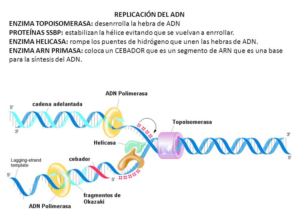 REPLICACIÓN DEL ADN ENZIMA TOPOISOMERASA: desenrrolla la hebra de ADN PROTEÍNAS SSBP: estabilizan la hélice evitando que se vuelvan a enrrollar. ENZIM