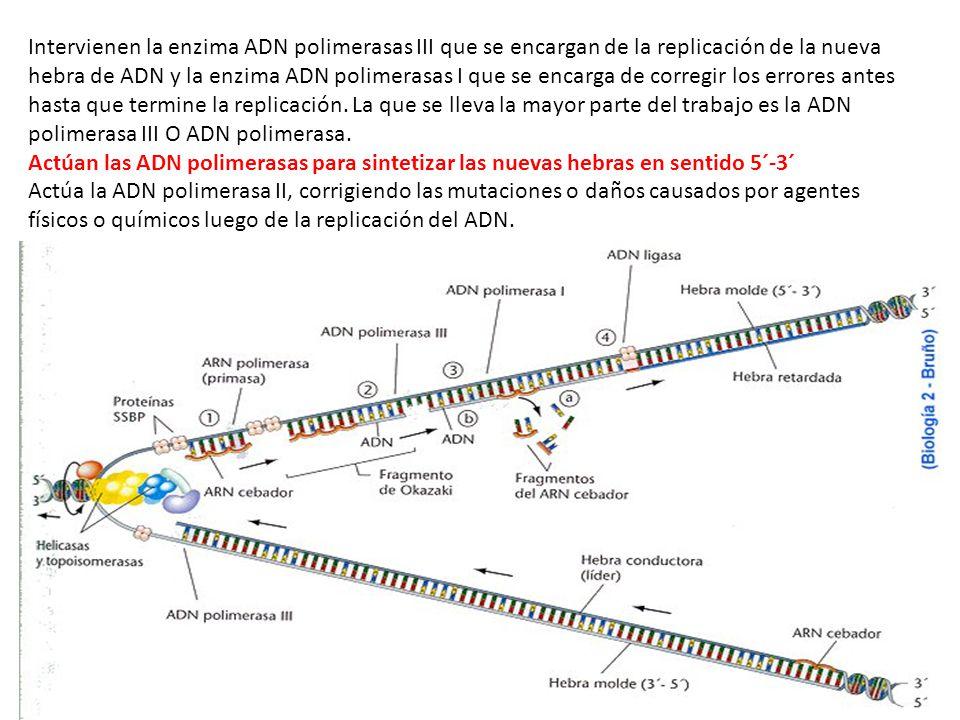 Intervienen la enzima ADN polimerasas III que se encargan de la replicación de la nueva hebra de ADN y la enzima ADN polimerasas I que se encarga de corregir los errores antes hasta que termine la replicación.