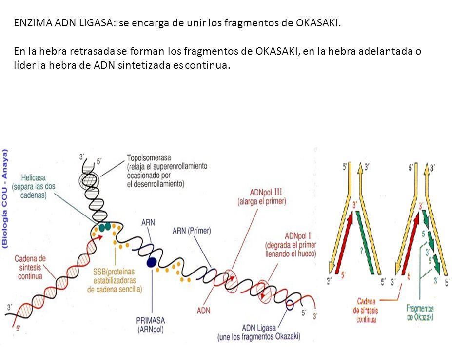 ENZIMA ADN LIGASA: se encarga de unir los fragmentos de OKASAKI. En la hebra retrasada se forman los fragmentos de OKASAKI, en la hebra adelantada o l