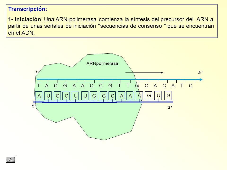 T A C G A A C C G T T G C A C A T C AUGCUUGGCAACGUG Transcripción: 1- Iniciación: Una ARN polimerasa comienza la síntesis del precursor del ARN a part