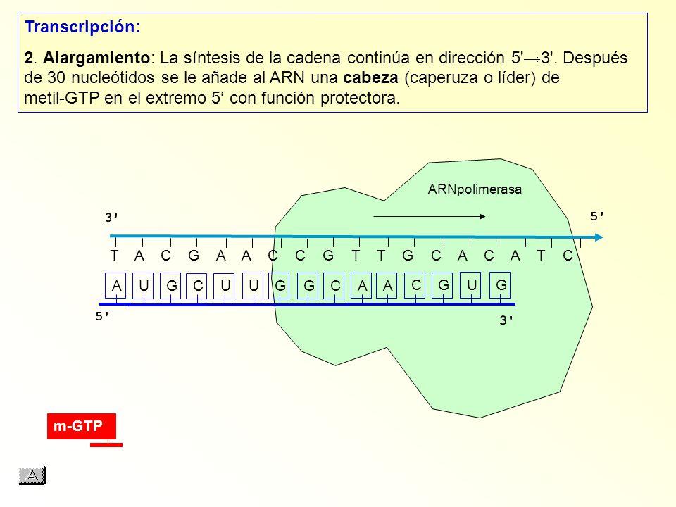 T A C G A A C C G T T G C A C A T C AUGCUUGGCAACGUG Transcripción: 2. Alargamiento: La síntesis de la cadena continúa en dirección 5' 3'. Después de 3