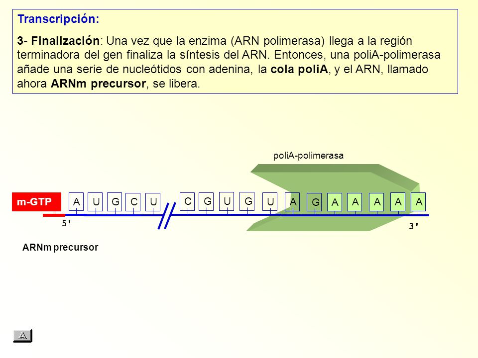 AUGCUCGUG Transcripción: 3- Finalización: Una vez que la enzima (ARN polimerasa) llega a la región terminadora del gen finaliza la síntesis del ARN.