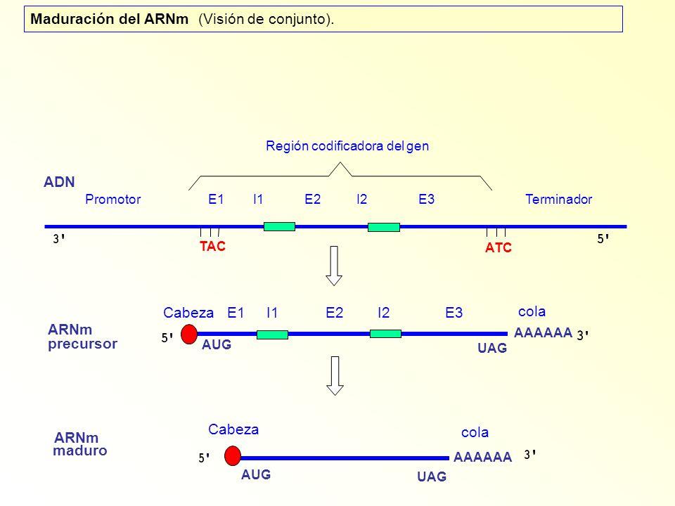 Región codificadora del gen Promotor E1 I1 E2 I2 E3 Terminador ADN ARNm precursor ARNm maduro AAAAAA AUG UAG AUG UAG ATC TAC Cabeza Cabeza E1 I1 E2 I2 E3 cola Maduración del ARNm (Visión de conjunto).