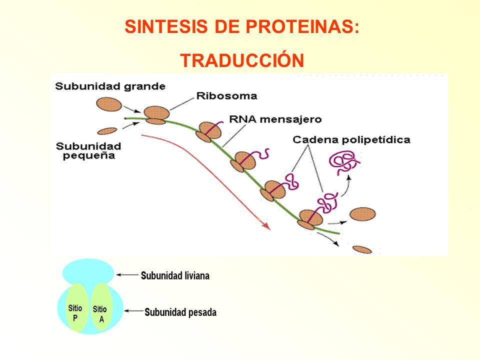 SINTESIS DE PROTEINAS: TRADUCCIÓN
