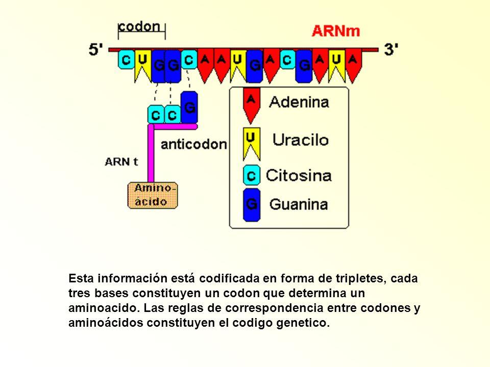 Esta información está codificada en forma de tripletes, cada tres bases constituyen un codon que determina un aminoacido. Las reglas de correspondenci