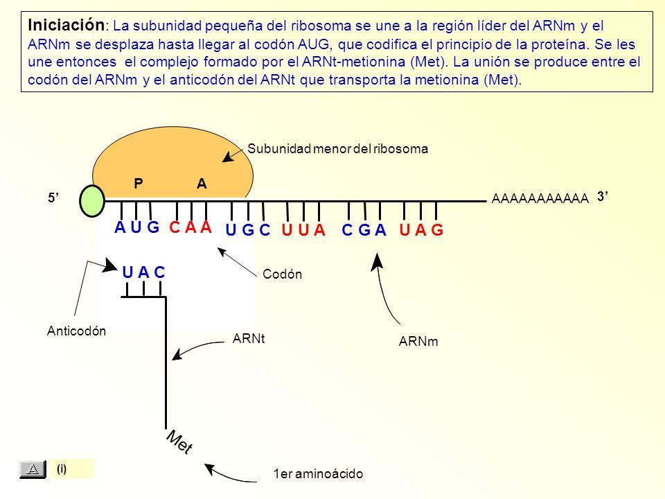Met 1er aminoácido ARNt Anticodón Codón ARNm Subunidad menor del ribosoma AAAAAAAAAAA P A A U G C A A U A C Iniciación : La subunidad pequeña del ribosoma se une a la región líder del ARNm y el ARNm se desplaza hasta llegar al codón AUG, que codifica el principio de la proteína.