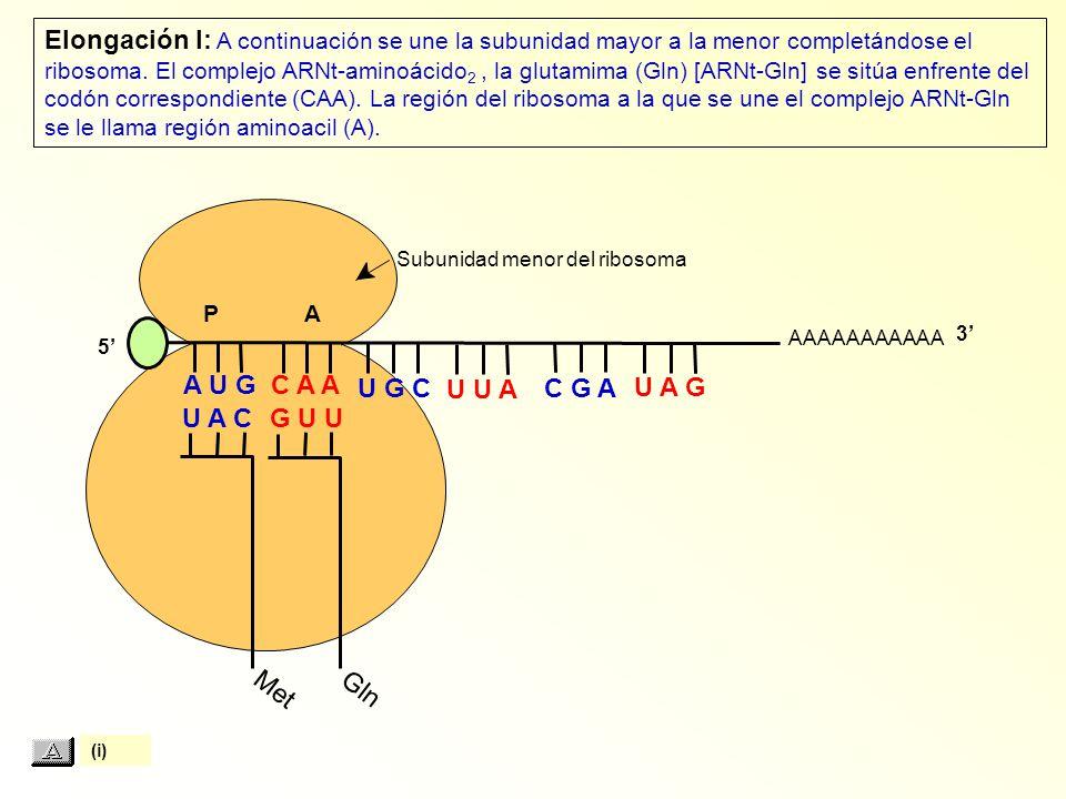 Met Subunidad menor del ribosoma AAAAAAAAAAA P A A U G C A A U A C Elongación I: A continuación se une la subunidad mayor a la menor completándose el