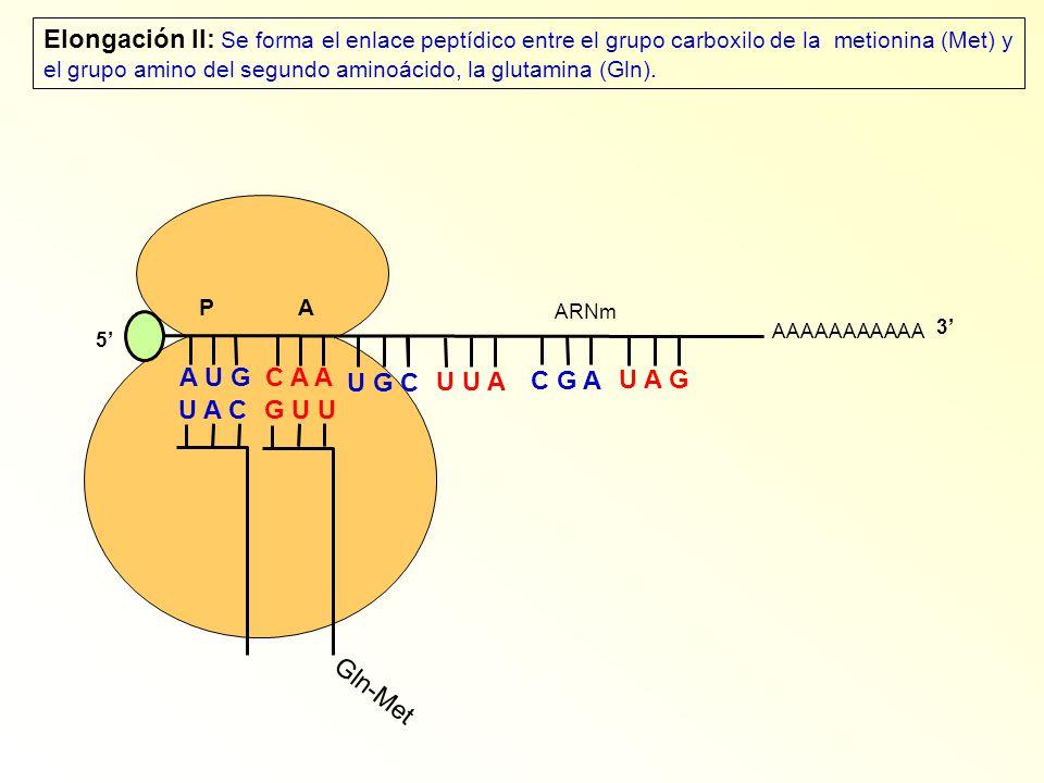 ARNm AAAAAAAAAAA P A A U G C A A U A C Elongación II: Se forma el enlace peptídico entre el grupo carboxilo de la metionina (Met) y el grupo amino del segundo aminoácido, la glutamina (Gln).