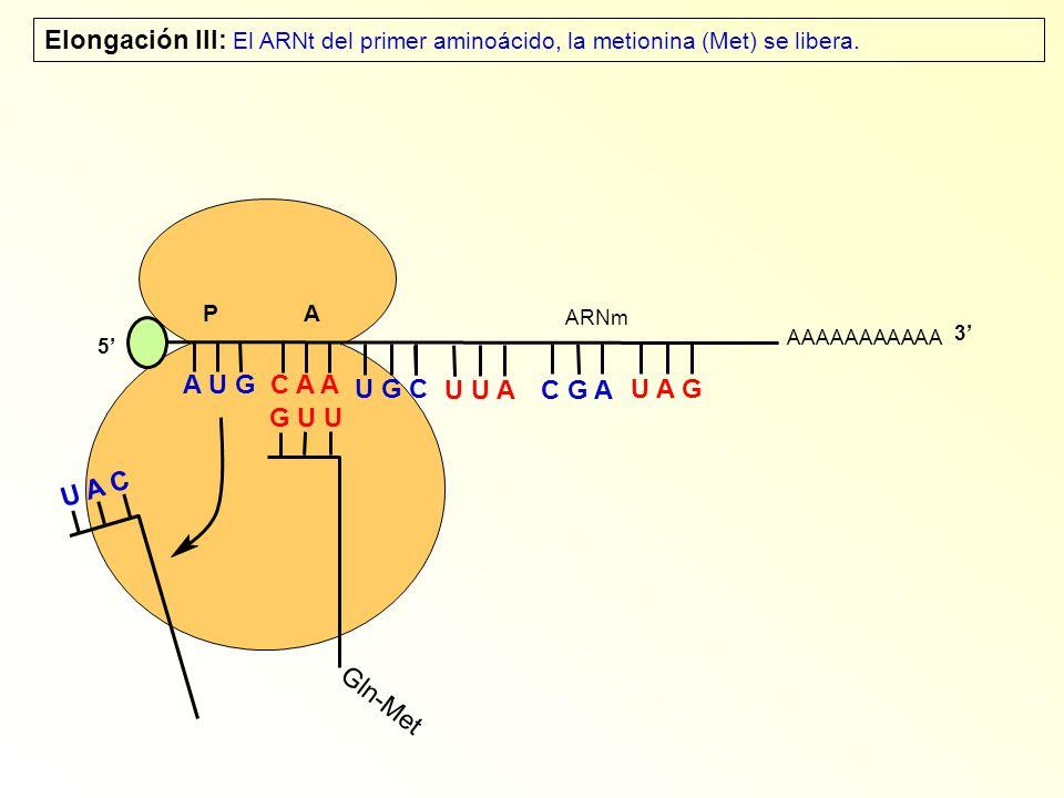 AAAAAAAAAAA P A A U G C A A Elongación III: El ARNt del primer aminoácido, la metionina (Met) se libera. 5 U A C Gln-Met G U U U G C U U A C G A U A G