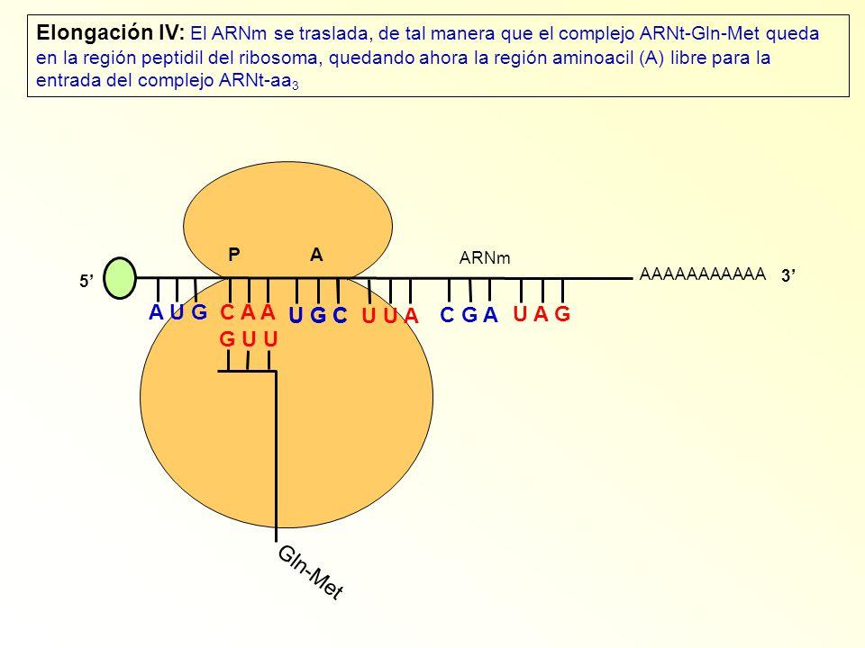 AAAAAAAAAAA P A A U G C A A Elongación IV: El ARNm se traslada, de tal manera que el complejo ARNt-Gln-Met queda en la región peptidil del ribosoma, q