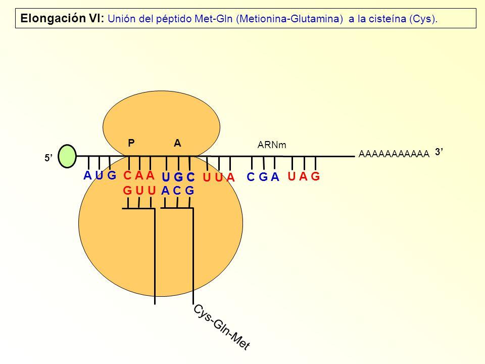 AAAAAAAAAAA P A A U G C A A Elongación VI: Unión del péptido Met-Gln (Metionina-Glutamina) a la cisteína (Cys). 5 G U U U G C U U A C G A U A G ARNm 3