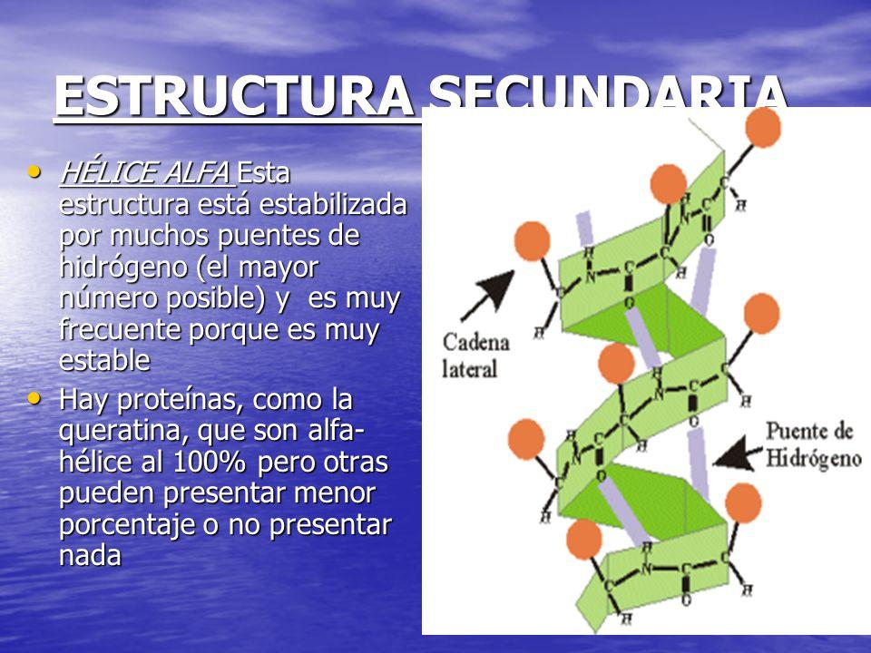 ESTRUCTURA SECUNDARIA HÉLICE ALFA Esta estructura está estabilizada por muchos puentes de hidrógeno (el mayor número posible) y es muy frecuente porque es muy estable HÉLICE ALFA Esta estructura está estabilizada por muchos puentes de hidrógeno (el mayor número posible) y es muy frecuente porque es muy estable Hay proteínas, como la queratina, que son alfa- hélice al 100% pero otras pueden presentar menor porcentaje o no presentar nada Hay proteínas, como la queratina, que son alfa- hélice al 100% pero otras pueden presentar menor porcentaje o no presentar nada