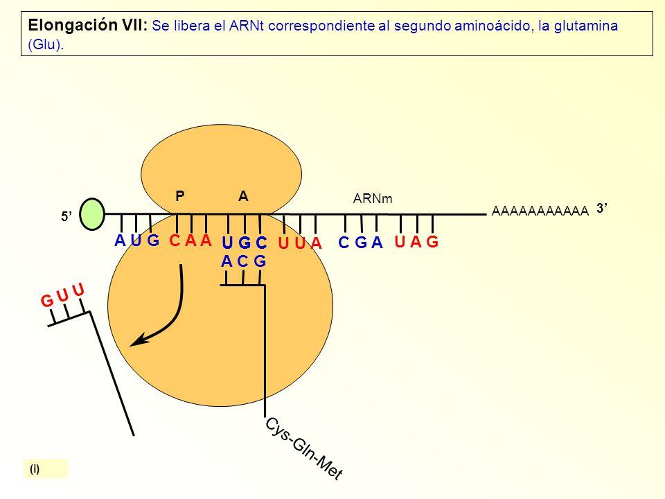 AAAAAAAAAAA P A A U G C A A Elongación VII: Se libera el ARNt correspondiente al segundo aminoácido, la glutamina (Glu).
