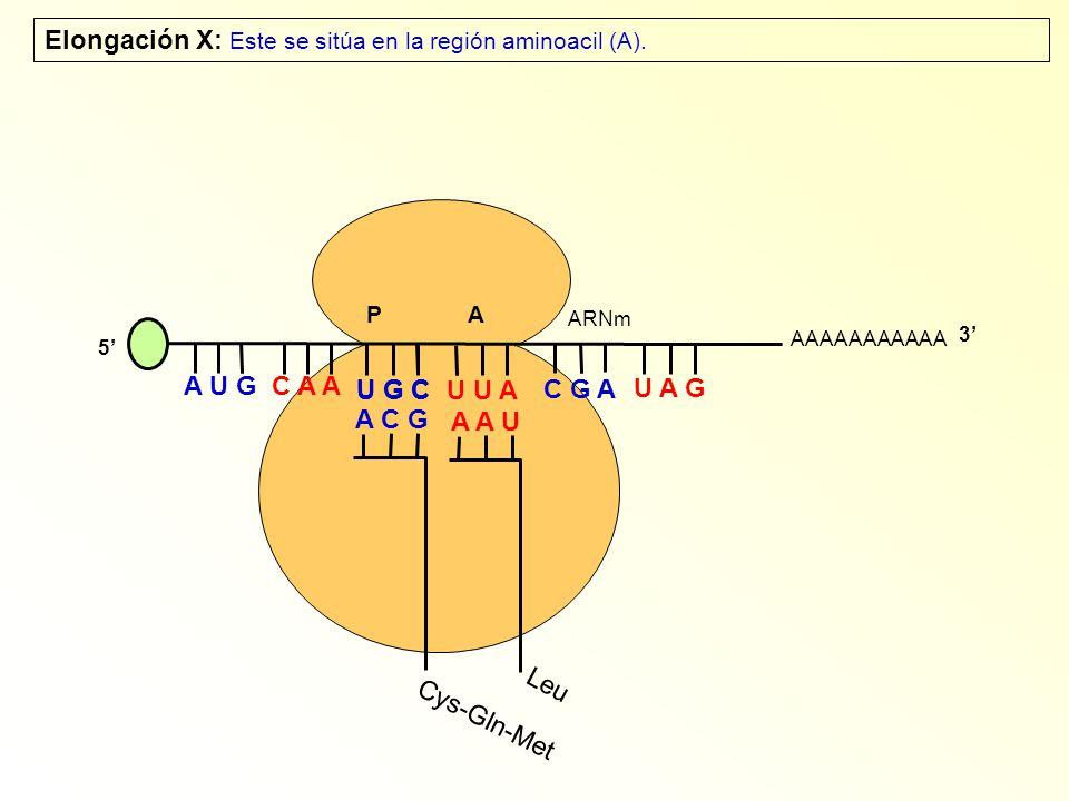 AAAAAAAAAAA P A A U G C A A Elongación X: Este se sitúa en la región aminoacil (A). 5 U G C U U A C G A U A G ARNm 3 A C G Cys-Gln-Met A A U Leu