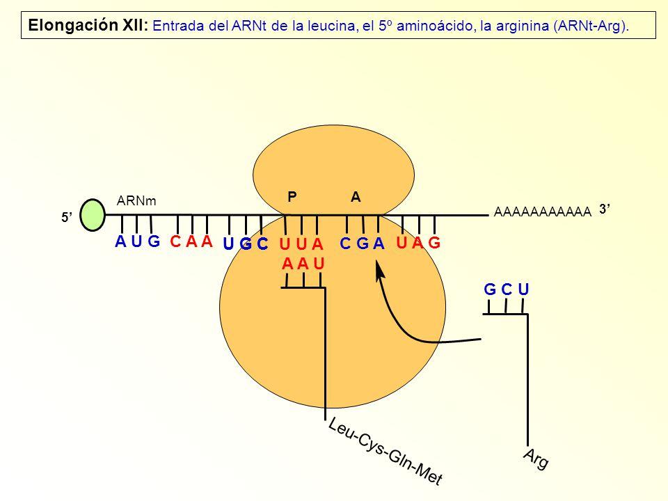 AAAAAAAAAAA P A A U G C A A Elongación XII: Entrada del ARNt de la leucina, el 5º aminoácido, la arginina (ARNt-Arg).