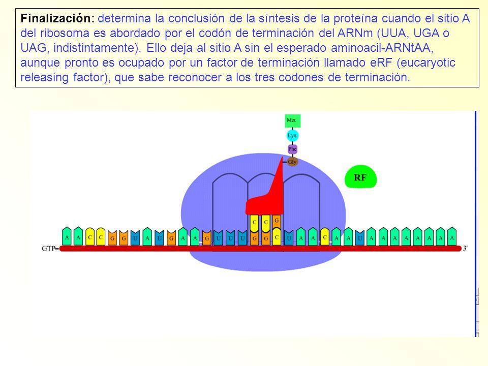 Finalización: determina la conclusión de la síntesis de la proteína cuando el sitio A del ribosoma es abordado por el codón de terminación del ARNm (U