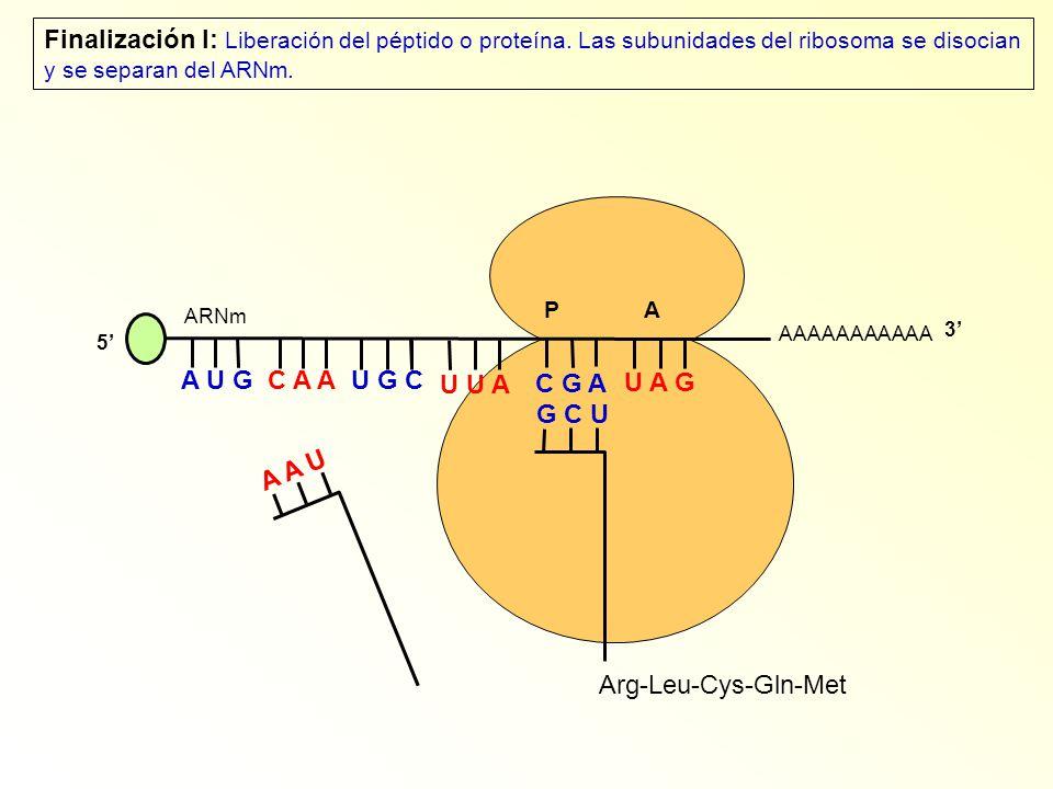 AAAAAAAAAAA P A A U G C A A 5 U G C U U A C G A U A G ARNm 3 A A U Arg-Leu-Cys-Gln-Met G C U Finalización I: Liberación del péptido o proteína.