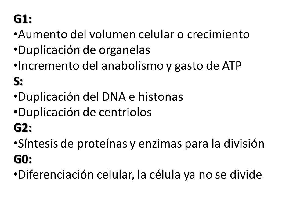 G1: Aumento del volumen celular o crecimiento Duplicación de organelas Incremento del anabolismo y gasto de ATPS: Duplicación del DNA e histonas Duplicación de centriolosG2: Síntesis de proteínas y enzimas para la divisiónG0: Diferenciación celular, la célula ya no se divide