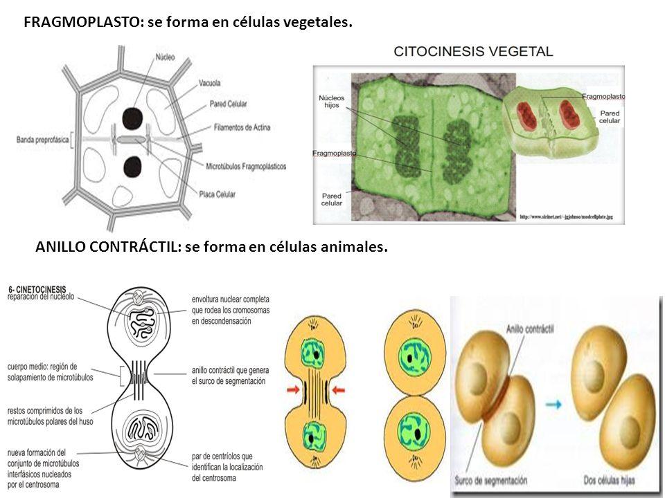 ANILLO CONTRÁCTIL: se forma en células animales. FRAGMOPLASTO: se forma en células vegetales.