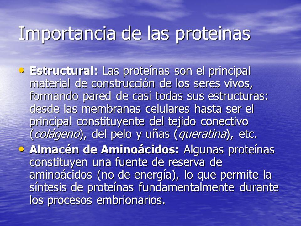 Importancia de las proteinas Estructural: Las proteínas son el principal material de construcción de los seres vivos, formando pared de casi todas sus estructuras: desde las membranas celulares hasta ser el principal constituyente del tejido conectivo (colágeno), del pelo y uñas (queratina), etc.